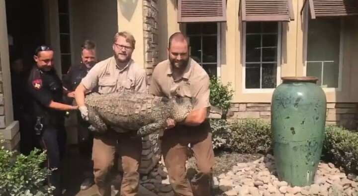 Alligator found in dining room of Texas home affected by hurricane; video