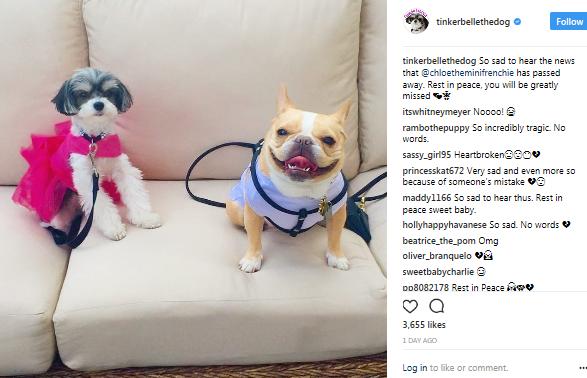 Instagram-famous dog Chloe dies suddenly due to animal hospital?s ?Error?