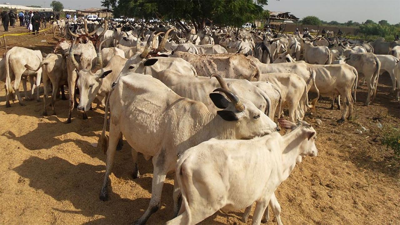 Police arrest 200 cows that invaded and destroyed farmland in Yola, Adamawa State
