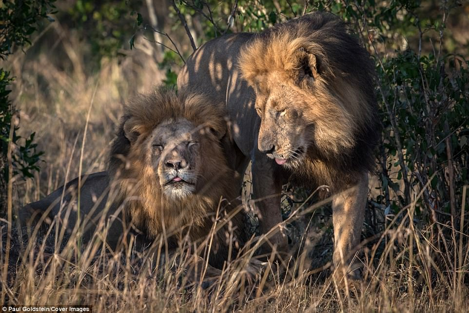 """Gay lions seen in Kenya """"need counselling"""" and """"must have been influenced by homosexual men behaving badly in national parks"""" says country"""