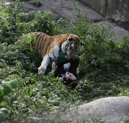 Female zookeeper is mauled by a tiger to within an inch of her life as shocked visitors throw rocks to scare it away in Russia