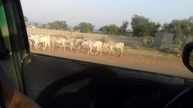 Photos: Herds of cattle seen roaming in Makurdi despite the Anti-Open Grazing Law