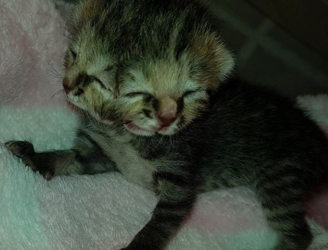 Photo: Cat born with two faces and three eyes in South Africa