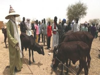 Miyetti Allah accuse Plateau youths of stealing 350 cows, beating herdsman to a state of coma