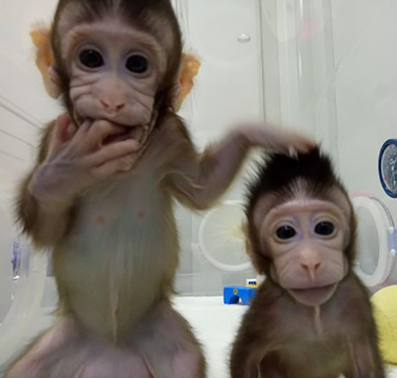 Monkeys have been successfully cloned by Chinese scientists, breaking barrier to human cloning