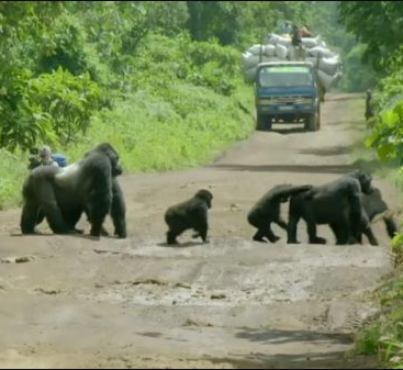 Silverback gorilla stops traffic so his family can safely cross the road