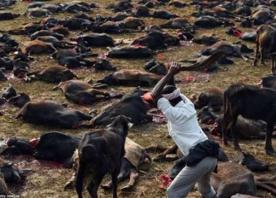 Farmers in Nasarawa State?kill 73?cows, injure 18 in reprisal attacks