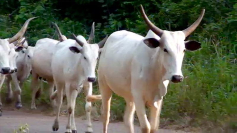 Akwa Ibom state government set to import 2,000 pregnant cattle from Mexico
