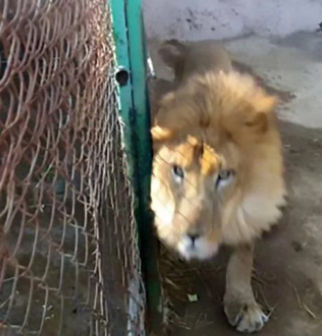 Lion mauls zookeeper to death after he forgot to lock the enclosure properly