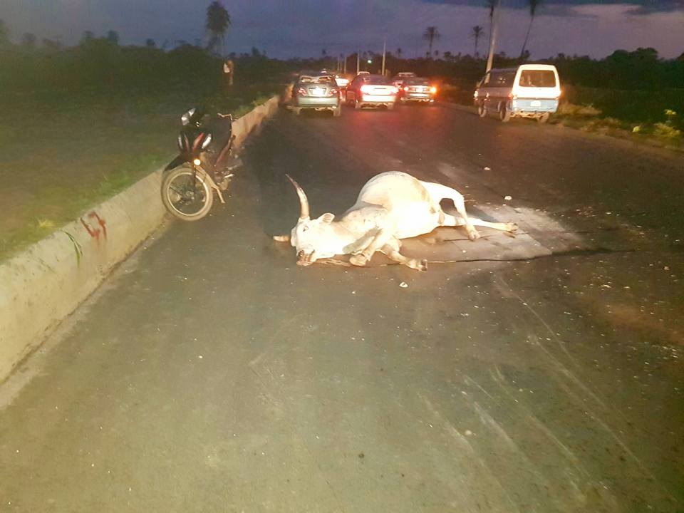 Straying cows cause ghastly motor accident in Rivers(photos)