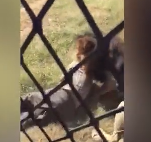 Shocking moment lion pounces on British man and drags him into enclosure at a park in South Africa