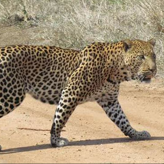 Toddler, 3, is snatched and eaten by leopard at safari park in Uganda