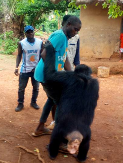 Villagers shocked as a small gorilla follows a farmer home in Cross River state