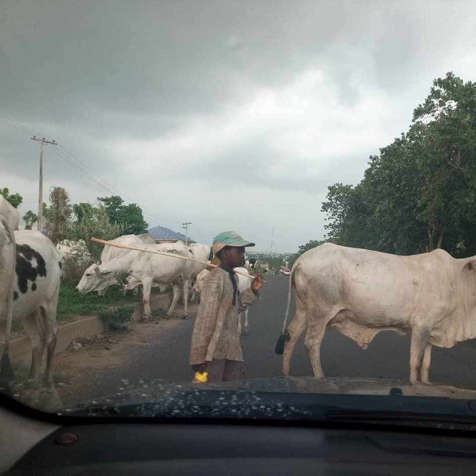Tragedy averted as herd of cattle strays into major road in Abuja