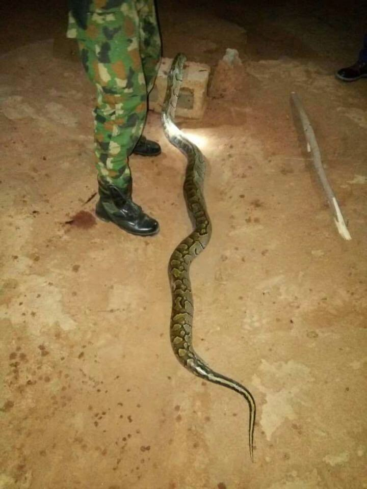 See what a Nigerian soldier did to a Huge python that bit him(photos)