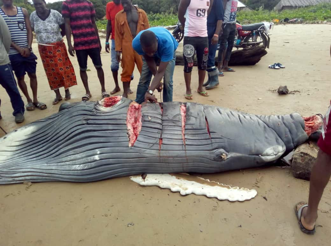 Baby Whale found in a community in Delta State and killed...(photos)