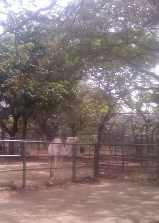 The condition of a camel in an Abuja zoo sparks concern (photo)