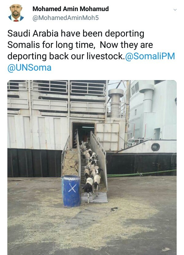 Lol. Saudi Arabia deports Somali livestock (photo)
