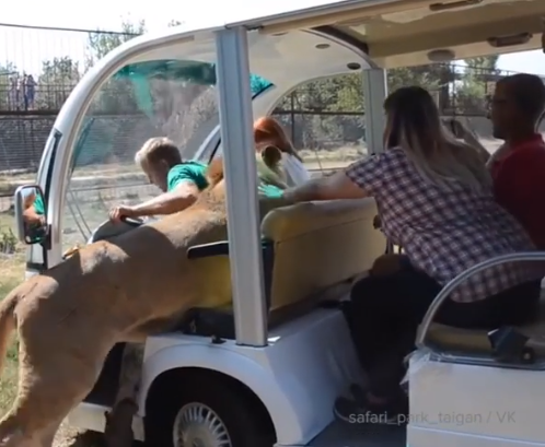 Scary moment a lion climbs into a zoo shuttle car filled with tourists (video)