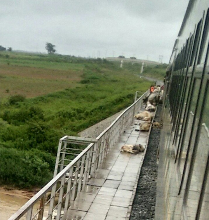 52 cows crushed to death by an Abuja-bound train