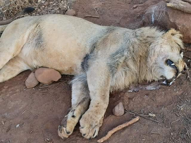 Graphic Photos: Reward offered for information after five lions were poisoned and parts hacked off at park in South Africa
