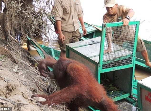 See photos of the orangutan that was forced to become a sex slave and sleep with men on a daily basis