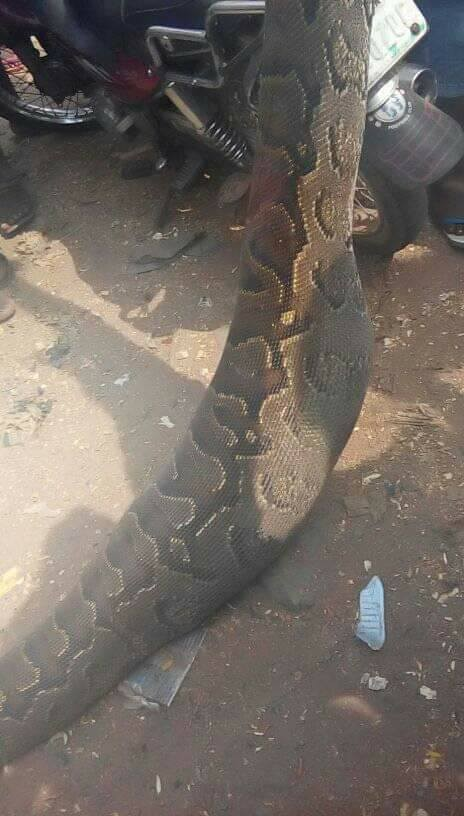 Man kills snake that swallowed his dog in Anambra