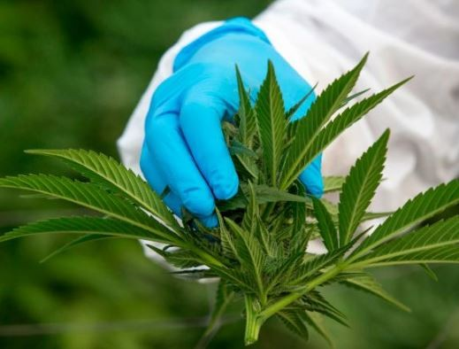 Lawmakers in?Thailand approve medical use of marijuana
