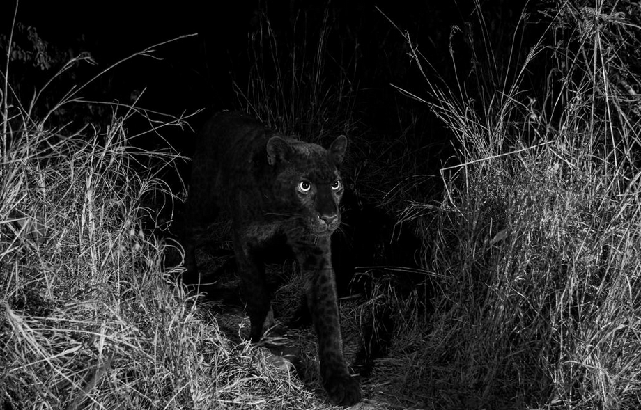 "black Leopard, Rare black leopard 'Black Panther"" spotted in Africa for the first time in 100 years (Photos)"