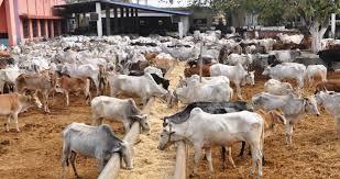 31 cows missing in police custody in Kaduna