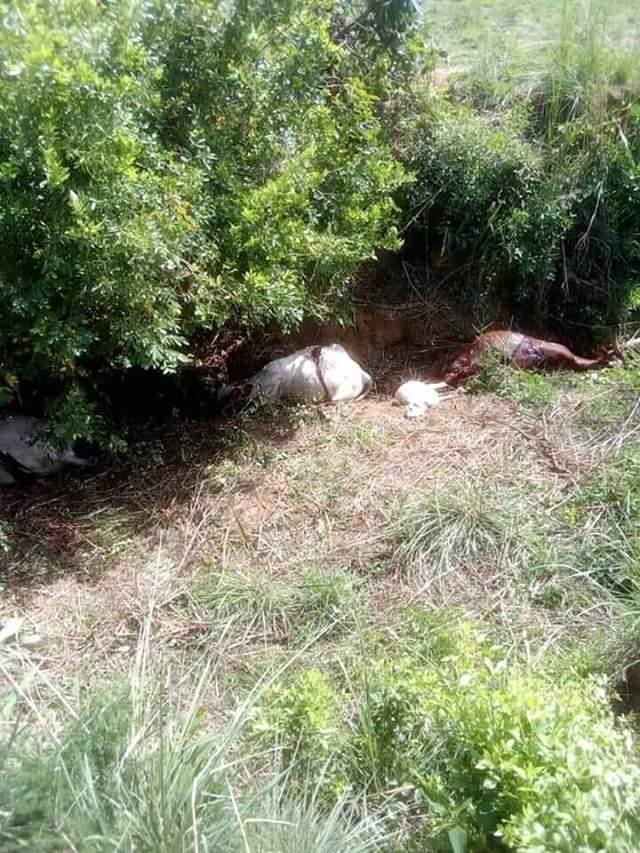 Photos: One person killed, over 300 cows rustled and slaughtered in Plateau