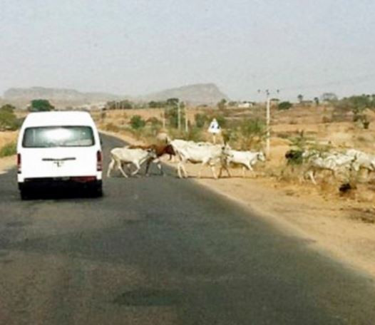 Several passengers injured and seven cows die as bus rams into?cattle along?Efon-Alaaye Road