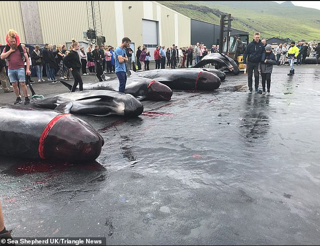 Hunters turn the sea red with blood as they butcher 23 whales in the Foroe Islands