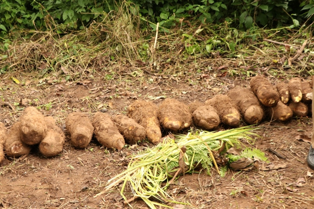 Olowa of Igbara-Oke Celebrates New Yam Festival