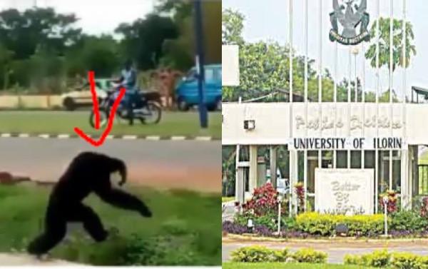 Gorilla escapes from UNILORIN
