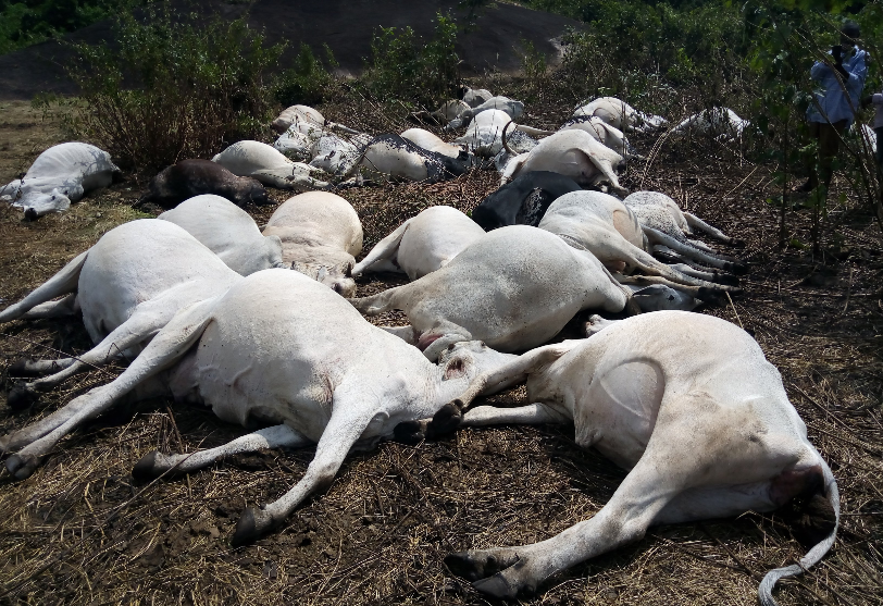 Herdsmen flee as thunder allegedly kills 36 cows in Ondo community (Photos)