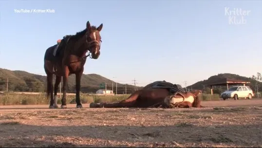 Meet the cunning horse that plays dead every time someone tries to ride him (video)