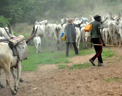 Police arrest seven cattle rustlers, recover 273 livestock in Kaduna State