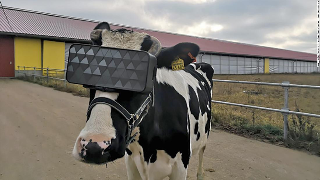 Cows in Russia are fitted with virtual reality headsets in order to help them relax and stimulate milk production