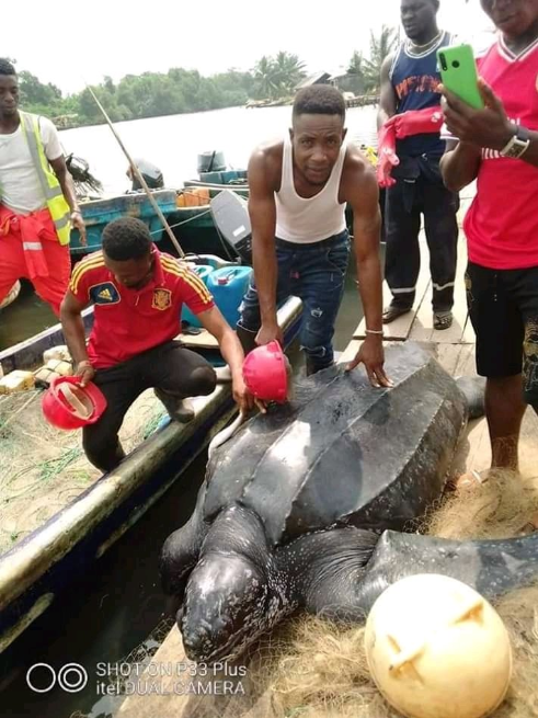 Massive leatherback sea turtle caught in Bayelsa state (photos)