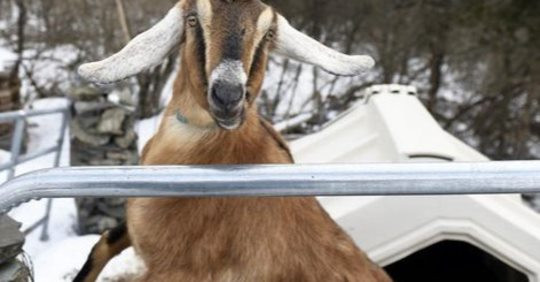 Dog and goat vie for honorary mayor of US town