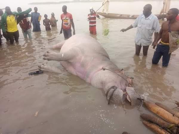 Fishermen traps, kill Hippotamus in Kebbi community (photos)