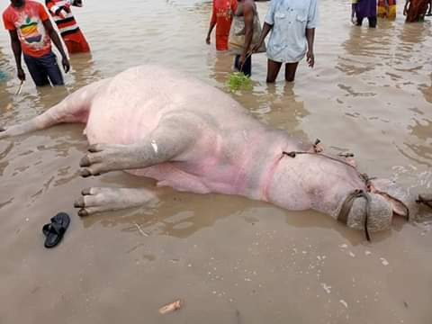 Fishermen trap, kill Hippotamus in Kebbi community (photos)