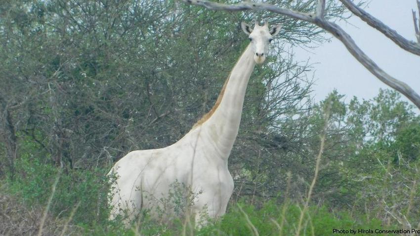 Kenya?s only white female giraffe and her calf killed by poachers
