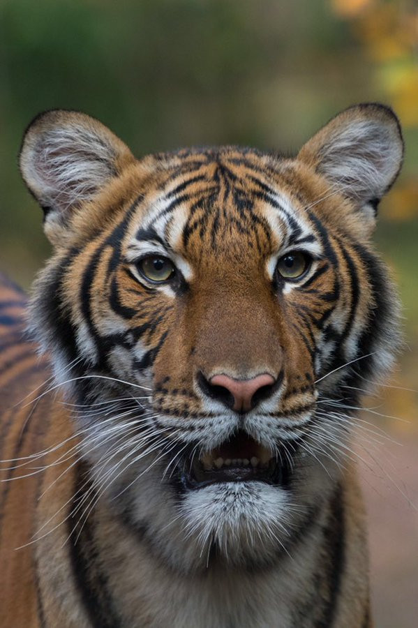 Tiger at a zoo in New York City tests positive for Coronavirus