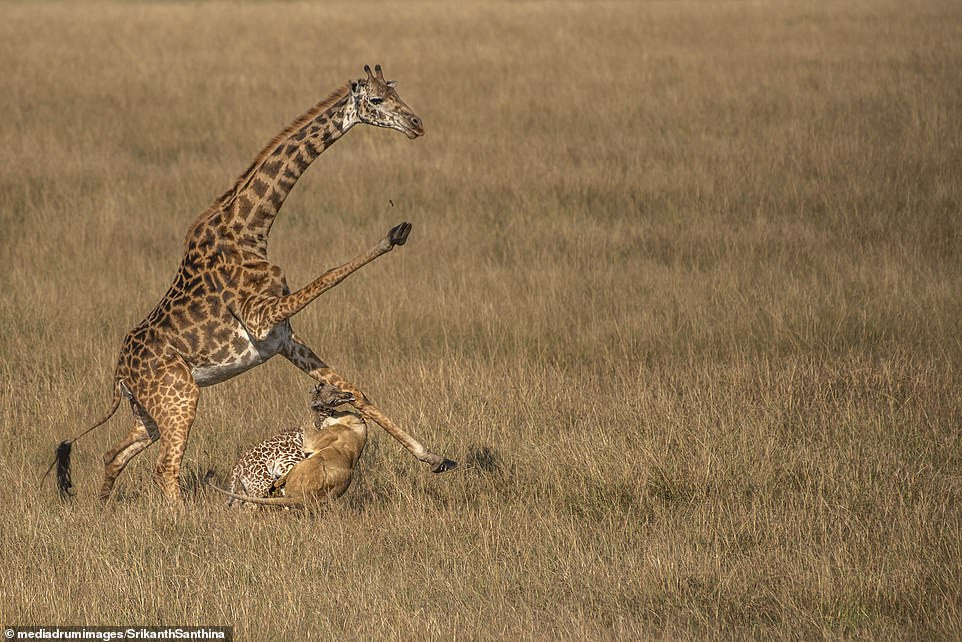 Dramatic moment mother giraffe tries in vain to defend its one-day-old calf from a lioness (photos)