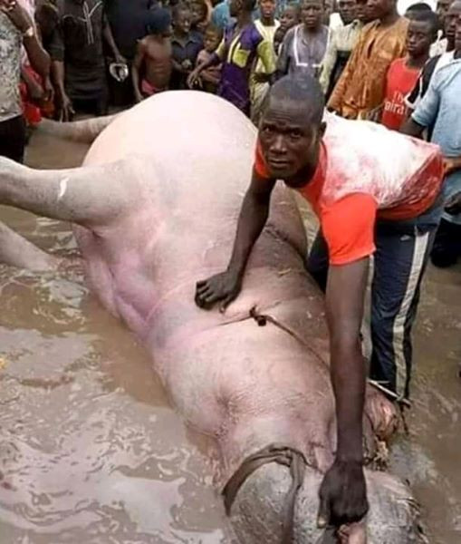 Fisherman catches huge Hippopotamus in Bayelsa (photo)