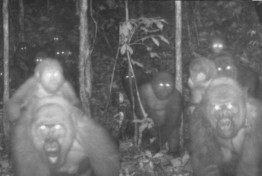 World's rarest species of gorillas pictured with babies in Nigeria ...