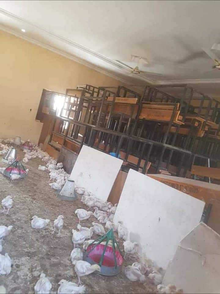 Borno classroom turned into a poultry farm as schools remain closed due to the pandemic