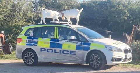 Police ask for public assistance to identify goats that